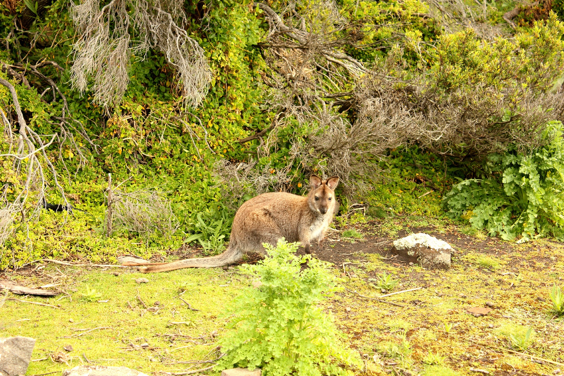 Though we were rushing to catch the last ferry back, but how can you miss an opportunity to snap pictures of wild wallabies!